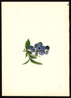 Artist:     Shull, James Marion, 1872-1948  Scientific name:     Vaccinium corymbosum  Common name:     blueberries  Variety:     Brooks  Geographic origin:     Whitesbog, Burlington County, New Jersey, United States  Physical description:     1 art original : col. ; 17 x 24 cm.  Specimen:     1860  Year:     1940  Notes on original:     Collected in the wild  Date created:     1940