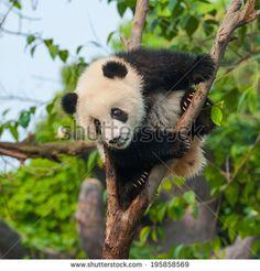 Panda Arkivfotografier | Shutterstock