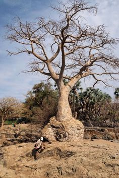 Arbre bouteille. Epupa falls. Namibie.