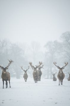 The reindeer are coming.the reindeer are coming.the reindeer are coming. Beautiful Creatures, Animals Beautiful, Cute Animals, Wild Animals, Baby Animals, Winter Schnee, Tier Fotos, Mundo Animal, Winter Beauty