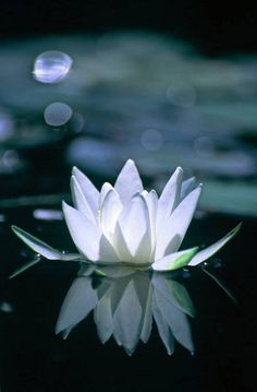 The lotus is a favorite Buddhist symbol. After all, it grows in the mud of materialism or suffering, but blooms pristinly above the water's surface, symbolizing the achievement of purity or enlightenment.