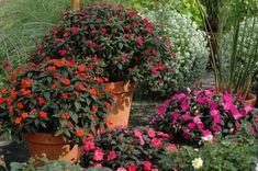 Niecierpki znakomicie nadają się do sadzenia na rabatach w ogrodach i do uprawy w pojemnikach na balkonie czy tarasie
