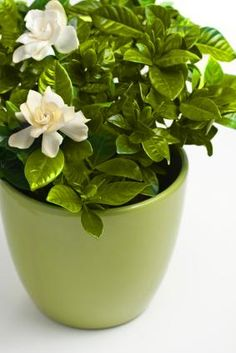 Gardenias in a vase  Good article about problems you find with gardenias
