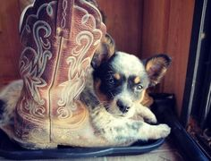 Healer and boots.  We have always had a blue healer at the farm!