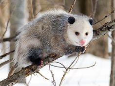 Riddle: What makes a marsupial a marsupial? Hint: it has little or nothing to do whether the animal has a marsupium, or pouch, for carrying its young.
