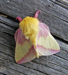 Rosy Maple Moth (Dryocampa rubicunda) photo by vtpeacenik (flickr)   http://www.carolinanature.com/moths/rosymaple.html #nature #insects