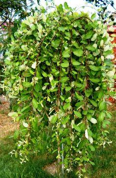 Szkółka Drzew i Krzewów Ozdobnych - Salix caprea 'Pendula' ('Kilmarnock') Small Trees For Garden, Garden Trees, Small Gardens, Baumgarten, Planting Plan, Trees And Shrubs, Colour Schemes, Garden Inspiration, Perennials