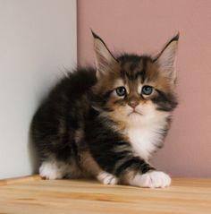 Mainemarie MATA HARI maine coon kitten #kitten #cute #sweet #cat #coon #mainecoon #pussycat #kitten #kitty #kittens #pet #pets #animal #animals #petstagram #ilovemycat #nature #catoftheday #lovecats #lovekittens #adorable #catlover