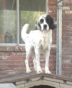 7a36acb310 Page not found - Above and Beyond English Setter Rescue