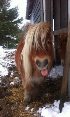 Funny Animal Pictures - View our collection of cute and funny pet videos and pics. New funny animal pictures and videos submitted daily. Pretty Horses, Horse Love, Beautiful Horses, Animals Beautiful, Poney Miniature, Miniature Ponies, Cute Little Animals, Cute Funny Animals, Tiny Horses