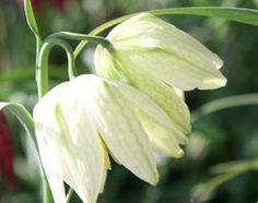 Fritillaria meleagris var. unicolor subvar. alba