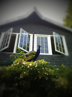Other worldly wonderful cottage with peacocks, such a magical sight  photo Heather Ross