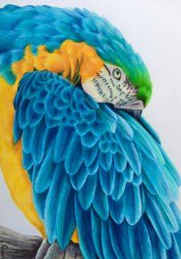 """""""All the blues"""" Blue and gold maccaw in coloured pencil. 29x41cm"""