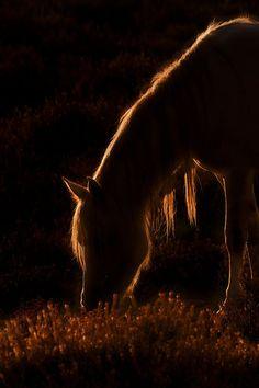 maya47000:  Sunlit horse by Derek Watt