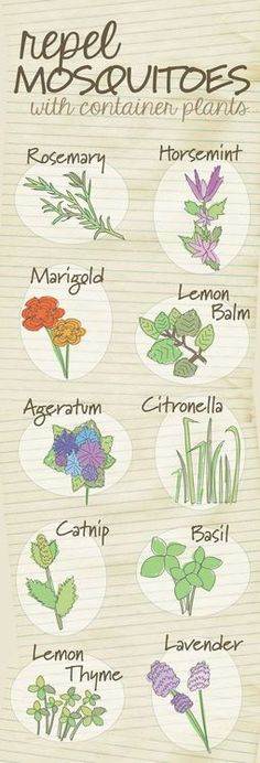 The top 10 container plants that repel mosquitoes ... / garden ideas