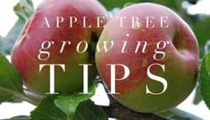 Complete Guide to Starting a Home Orchard: Apples, Pears, Cherries, Plums and Peaches - Gardening Channel Growing Apple Trees, Growing An Avocado Tree, Growing Tree, Apple Tree Care, Apple Tree From Seed, Plums And Peaches, Apple Farm, Apple Orchard, Apple Varieties