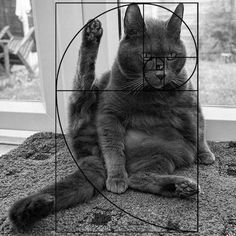 Cats are perfect! We do have proof this time, mind you. Ever heard of the Fibonacci sequence aka the Golden Ratio? Funny Cats Youtube, Maths In Nature, C Is For Cat, Spiral Art, Fibonacci Spiral, Fibonacci Number, Angry Cat, E Mc2, Golden Ratio