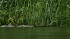 Otters beat the shit out of a caiman near the cubs