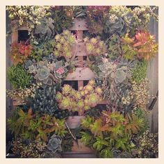 Vertical succulent garden. Cool! I like the rustic feel you get from the pallet peeking through!