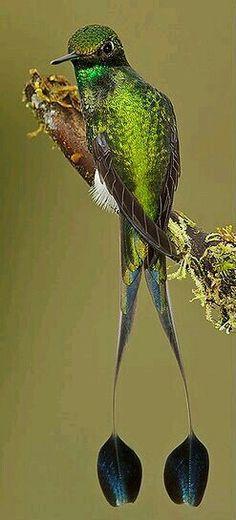 Furczak,furczek łopatkosterny.Eng.Booted racket-tail. (Ocreatus underwoodii) – gatunek małego ptaka z rodzinykolibrowatych, podrodzinykolibrów. Występuje w zachodniej częściAmeryki Południowej. Zamieszkuje wilgotne górskie lasy, przeważnie na wysokości 1050-300 m n.p.m. Występuje wyraźnydymorfizm płciowy. Długość ciała samca wraz z wydłużonymi zewnętrznymi sterówkami wynosi 12-15 cm, natomiast samicy 7,5-9 cm. Masa ciała waha się między 2,5-3,1 grama. Żywi się nektarem z kwiatów…