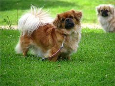 """Tibetan Spaniel - Smart, sweet and trusting of other dogs and people, the Tibetan Spaniel has a long history as a companion. It was bred in the monasteries of Tibet and used as a watchdog and bed warmer. Its nickname of """"little lion"""" symbolized Buddha's triumph over violence and aggression."""