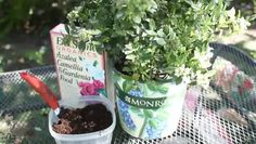 Video: How to Take Care of a Potted Blueberry Bush