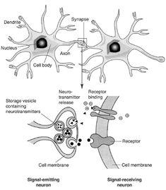 Structural features of a typical nerve cell (i.e., neuron) and synapse. This drawing shows the major components of a typical neuron, including the cell body with the nucleus; the dendrites that receive signals from other neurons; and the axon that relays nerve signals to other neurons at a specialized structure called a synapse. When the nerve signal reaches the synapse, it causes the release of chemical messengers (i.e., neurotransmitters) from storage vesicles. The neurotransmitters travel…