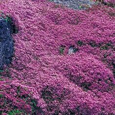 "Red Creeping Thyme ~~~ Colorful and Fragrant Ground Cover for Difficult Areas!    Easy to grow and tolerates moderate foot traffic. Don't be fooled by its name! Beautiful pink flowers bloom late spring to midsummer with a spicy fragrance which attracts butterflies. Grows 2-4"" tall with 12-15"" spread. #1 field-grown plants"