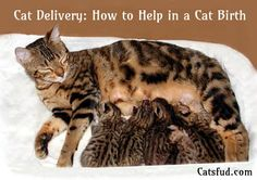 Double champion foothill felines manzanita, gorgeous bengal marble queen and fantastic kitty mama Cat Birth, Russian Cat, Pregnant Cat, Cat Toilet Training, How To Cat, F2 Savannah Cat, Cat Carrier, Cat Behavior, Funny Cat Memes
