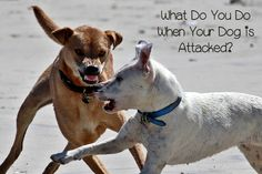 What do you do if your dog is attacked by another pooch? Knowing what to do in the aftermath can mean the difference between life & death for your dog.
