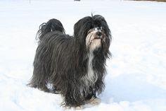 Datei:Tibet Terrier Bennie.jpg