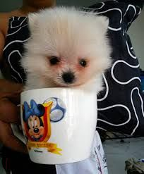 Image result for Teacup Pomeranian