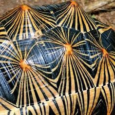 """A rare Radiated Tortoise by Garden State Tortoise. CHELONIAN CRISIS 