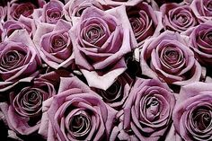 My favorite flower of all time purple roses <3