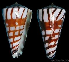 Kioconus plinthis  Richard, G. & R.G. Moolenbeek, 1988		 Shell size 16 - 61 mm	 New Caledonia - Kermadec