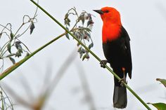 "Photos of Blackbirds / Scarlet-headed blackbird ""Amblyramphus holosericeus"" Argentina"
