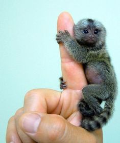 The finger monkey is the tiniest living primate in the world. It's so small that it can hold on to your finger. Finger monkeys are, as a matter of fact, pygmy marmosets. They are also known by the names 'pocket monkey' and 'tiny lion'. These primates belong to the family Callitrichidae, species Cebuella and genus C. pygmaea. They are native to rain-forests of Brazil, Peru, Bolivia, Ecuador and Colombia.  - I want one.