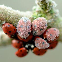 frosty ladybugs