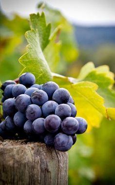 fruit: Grapes, blue on harvest pole Fruit And Veg, Fruits And Vegetables, Fresh Fruit, Color Splash, Image Fruit, Wine Vineyards, Fruit Photography, Beautiful Fruits, Wine Cheese
