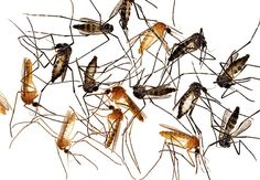 A Vector is a disease-carrying organism that does not develop the disease. For example, the vector for malaria is a certain type of mosquito. The mosquito bites an animal that has the protist in its bloodstream. Then the pathogen enters the saliva of the mosquito, but the mosquito does not develop malaria. When the mosquito bites another animal, the pathogen moves into that animal's blood and it develop malaria. #science