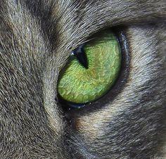 Cats eye - Felis silvestris catus - Wikimedia Commons