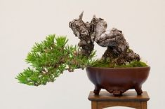 bonsai come in various beautiful shapes, which give them there majestic look. to find out more about bonsai , check out the link. Pine Bonsai, Juniper Bonsai, Bonsai Plants, Bonsai Garden, Bonsai Flowers, Potted Trees, Trees To Plant, Bonsai Tree Types, Bonsai Styles