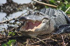 Everglades Day Safari offers full-day Everglades eco tours and Fort Myers airboat tours for guests of all ages. Book your fun Florida eco safari with us today! Everglades National Park, Florida Everglades, Small World, River Of Grass, Safari, Airboat Rides, Captiva Island, Estero Island