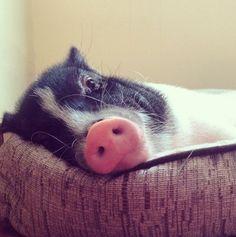 Cute Tired Piggy Wiggy