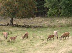 Deer near Fort Augustus (Scotland)