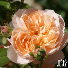 """Ambridge Rose®️ rose. Bred from `Charles Austin'. Rich apricot-bronze 4 1/2"""" blooms are produced in abundance which make them a good cut flower. Cupped at first they then open to display a rosette style bloom on a bushy well foliage plant that repeat blooms during the growing season."""