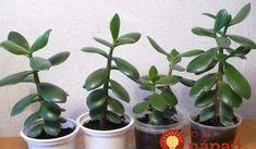 Ak máte doma túto rastlinu, čím skôr si rozmnožte: Vaše kĺby sa vám poďakujú!