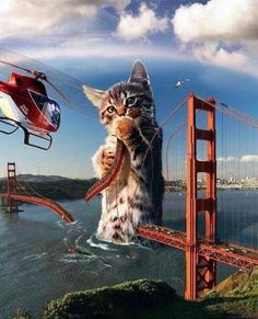 big kitty playing the golden gate bridge
