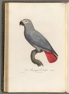 Grey parrot by BioDivLibrary, via Flickr