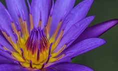 Macro of a water lily  by Micha Mettier | GuruShots